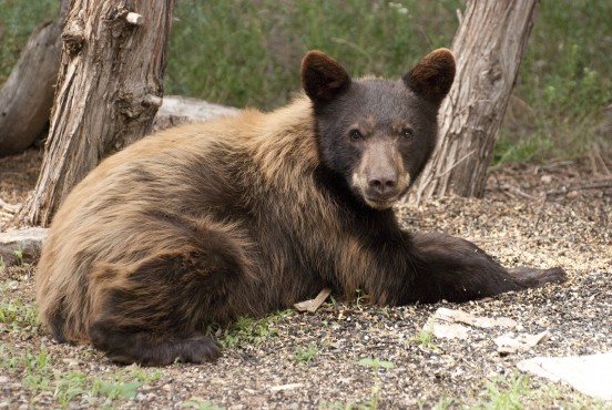 TBird Bear 01